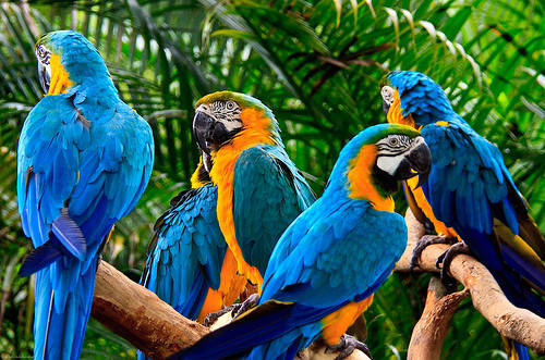 BLUE AND GOLD MACAW-vuonchimviet.vn