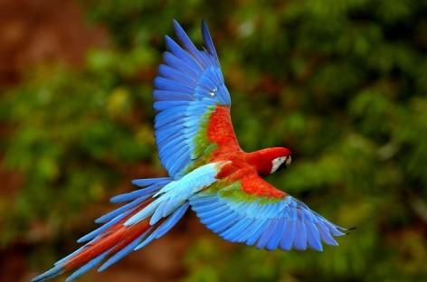Vẹt Nam Mỹ  Green Winged macaw
