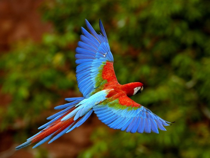 Red-and-green_Macaw-fly