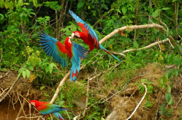Red-green-macaws-1024x677