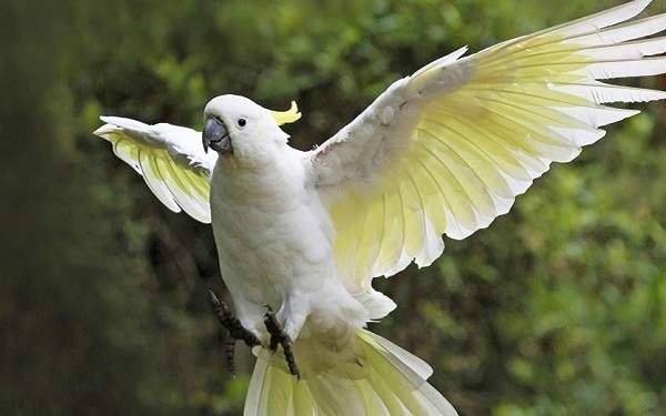 Sulphur-crested-Cockatoo1