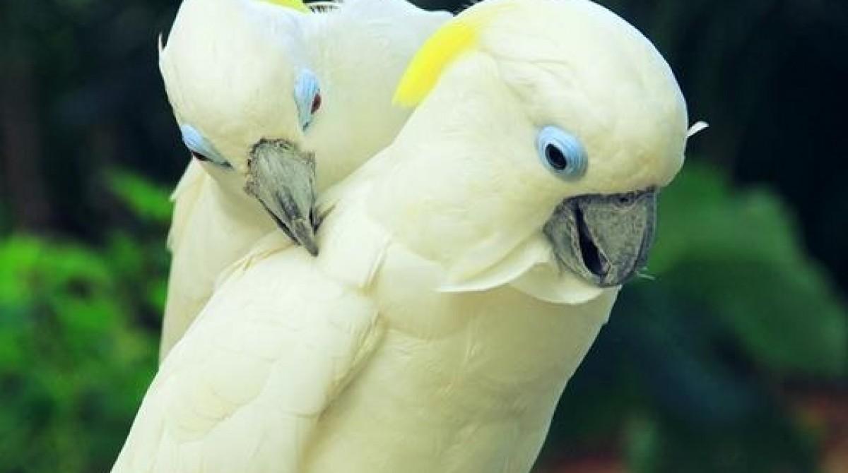Vẹt Châu Úc-Blue Eyed Cockatoo