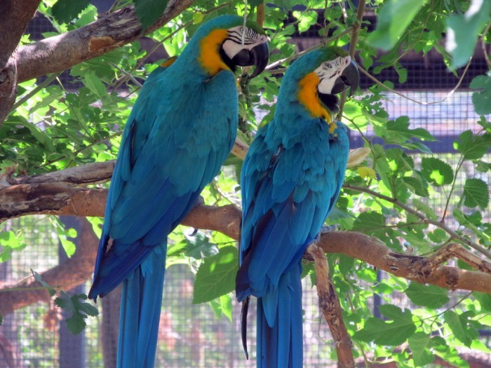 blue_and_gold_macaws_5905006718_l-150357