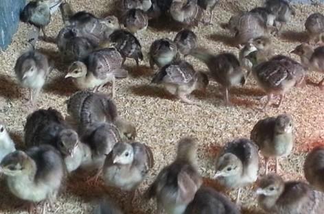 Một số bệnh thường gặp trên gà và chim Trĩ, biện pháp phòng trị