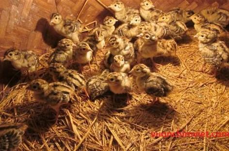 Kỹ thuật chăm sóc và nuôi dưỡng chim trĩ
