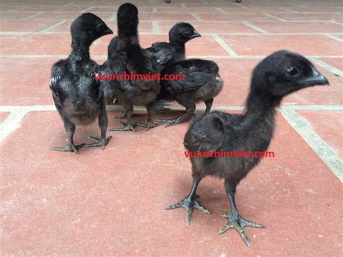 giống gà đen indo