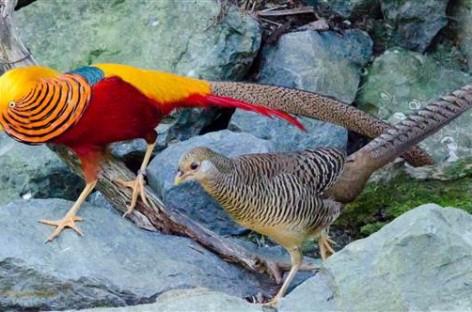 Kỹ thuật nuôi chim trĩ bảy màu sinh sản